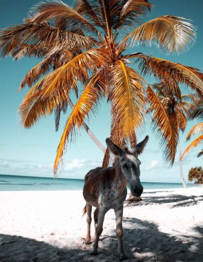 Donkey on the seashore, Dominican Republic