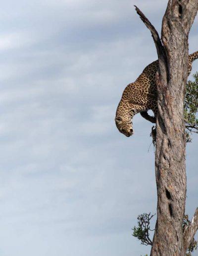 Leopard-in-a-tree-ready-to-pounce,-Maasai-Mara-National-Park,-Kenya