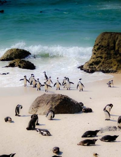 Penguins on the beach in Cape Town