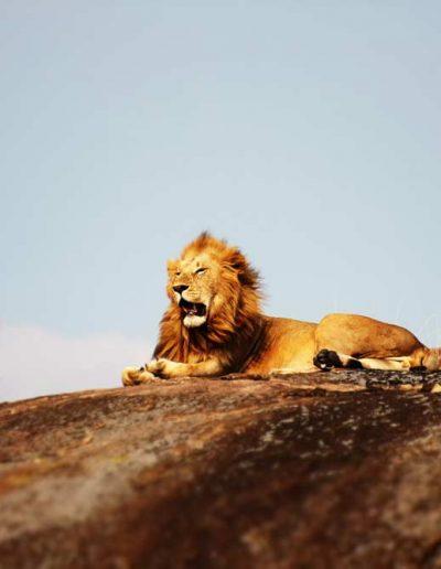 A lone lion sunbathing on a rock in Tanzania