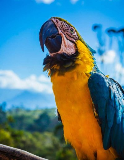 Hyacinth macaw sitting on a branch in Colombia