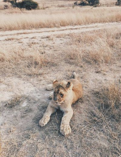 Lion cub near the road, Gweru, Zimbabwe